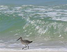 Estuary Willet on the Gulf